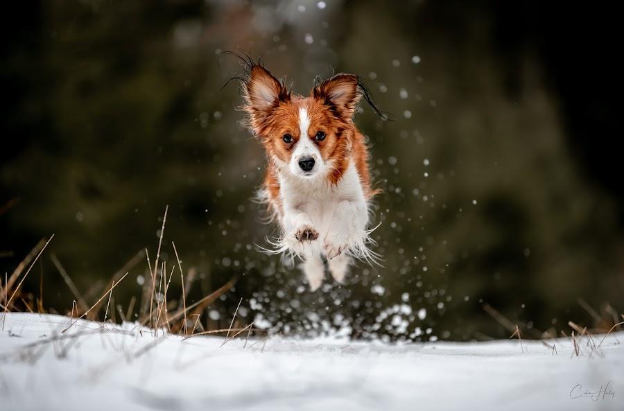 Tosca In Full Flight by Colin Harley - Animals - Dogs Running ( d750, forest, green, 70-200 f/2.8e, wet, happy, kooiker, winter, run, happy dog, eyes, cute, beautiful, ears, white, mammal, snow, grass, animal, dog, pet, earrings, jump )