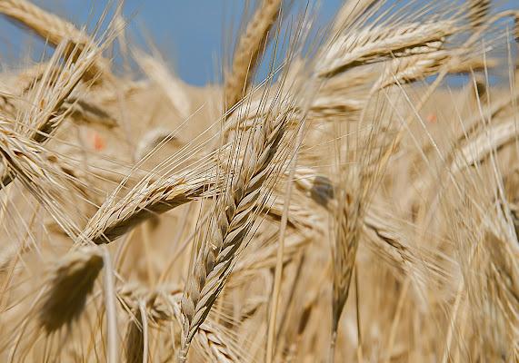 Andiamo a mietere il grano... di felixpedro