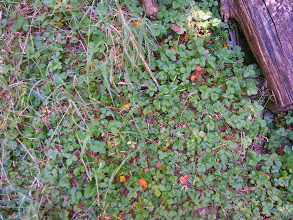 Photo: You won'r see anything like this on the forest floor below eucalytus.