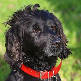 Proud Dusty by Chrissie Barrow - Animals - Dogs Portraits ( red, cocker spaniel, pet, collar, fur, ears, dog, nose, black, portrait, eyes )