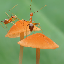 Ants on mushrooms by 曾 程泓 - Animals Insects & Spiders