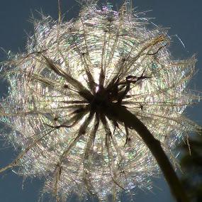 into the sun by Nick Parker - Flowers Single Flower ( flower bud, sun,  )