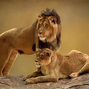 Lion Pair by Shawn Thomas - Animals Lions, Tigers & Big Cats ( pride, predator, lion, cat, carnivore, mane, wildlife, king, large )