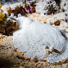 Red Sea Moses sole
