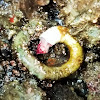Red-trumpet calcareous tubeworm