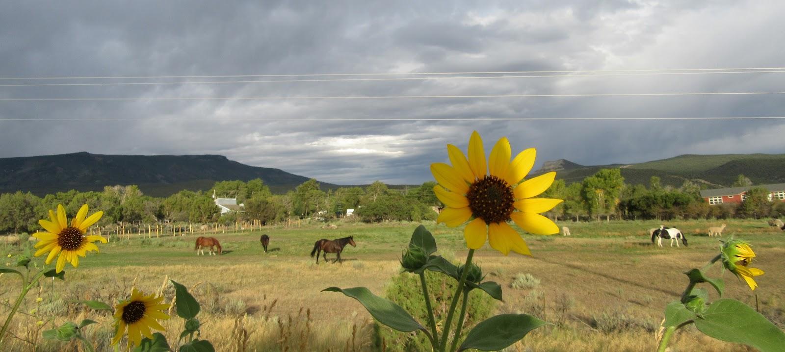 Cycling Grand Mesa North - daisy flower, horses, gray skies
