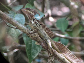 Photo: Jesus Christ lizard (walks on water)
