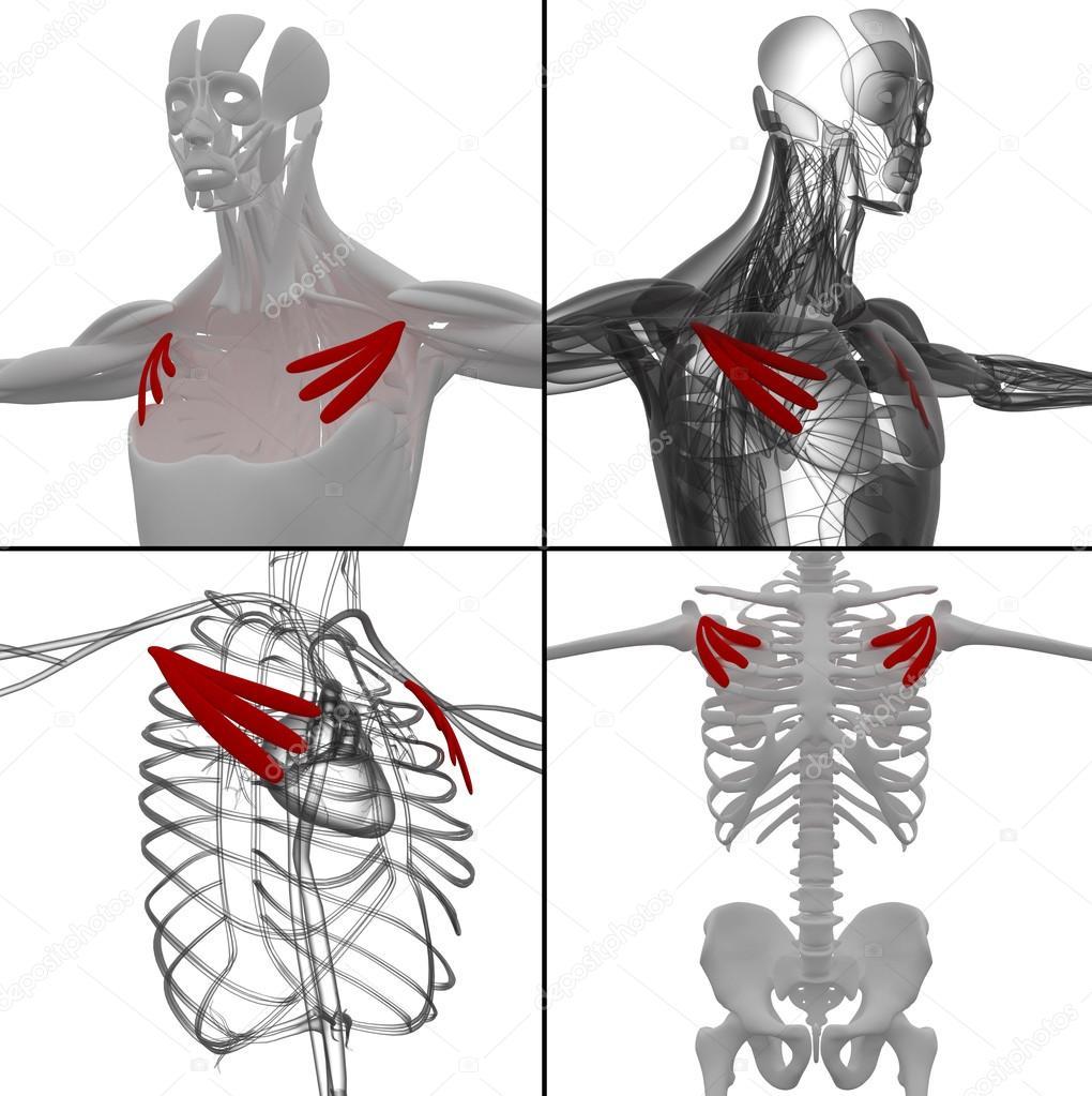 胸小肌2.jpg