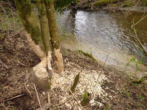 Photo: Beaver damage to Vine Maple
