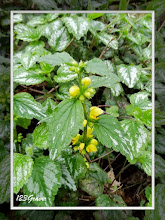 Photo: Lamier jaune, Lamium galeobdolon subsp. galeobdolon