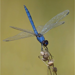 Blue Dragonfly by Ursula Herbst - Animals Insects & Spiders