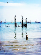 Photo: Black pelicans fishing alongside the fishermen.  Rita, the dog, eyeing the pelicans.  Los Organos beach.