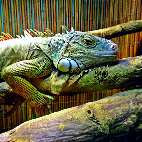 by Redski Pictures - Animals Reptiles ( iguana, legu, reptile, animal,  )