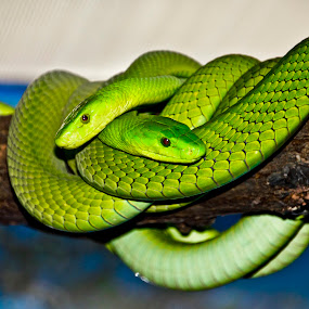Green snake by Edit Peterffy - Animals Other ( snake, green, edit, animal )