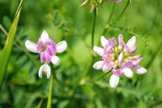 Photo: dziwne kwiaty... wyka powinna mieć inne, fioletowe  albo to nie była wyka...