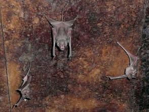 Photo: Fledermäuse: Bewohner alter Haveli-Häuser (Auch wenn Fledermäuse Säugetiere sind, nehme ich sie als Flieger im Album der Vögel auf.)