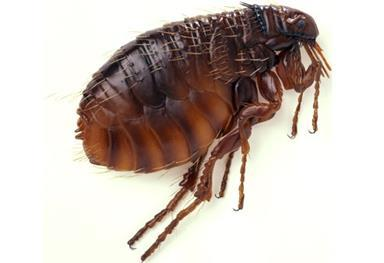 http://img.webmd.com/dtmcms/live/webmd/consumer_assets/site_images/articles/health_tools/bad_bugs_slideshow/getty_rm_photo_side_view_of_flea.jpg