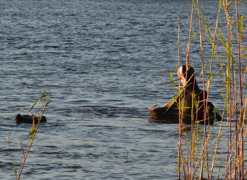 Wild Hippo di ElisabettaPics