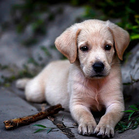by Dave Lerio - Animals - Dogs Puppies ( natural light, animalia, cute, young, portrait, natural background, canine, vertebra, adorable dogs, resting, curious, animal kingdom, nature, pet, mamal, puppy, laying, zoology, baby, rest, companion dog, dog, natural, animal )
