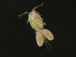 Photo: 3.  cyclopoid copepod