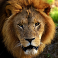 Lion Videos