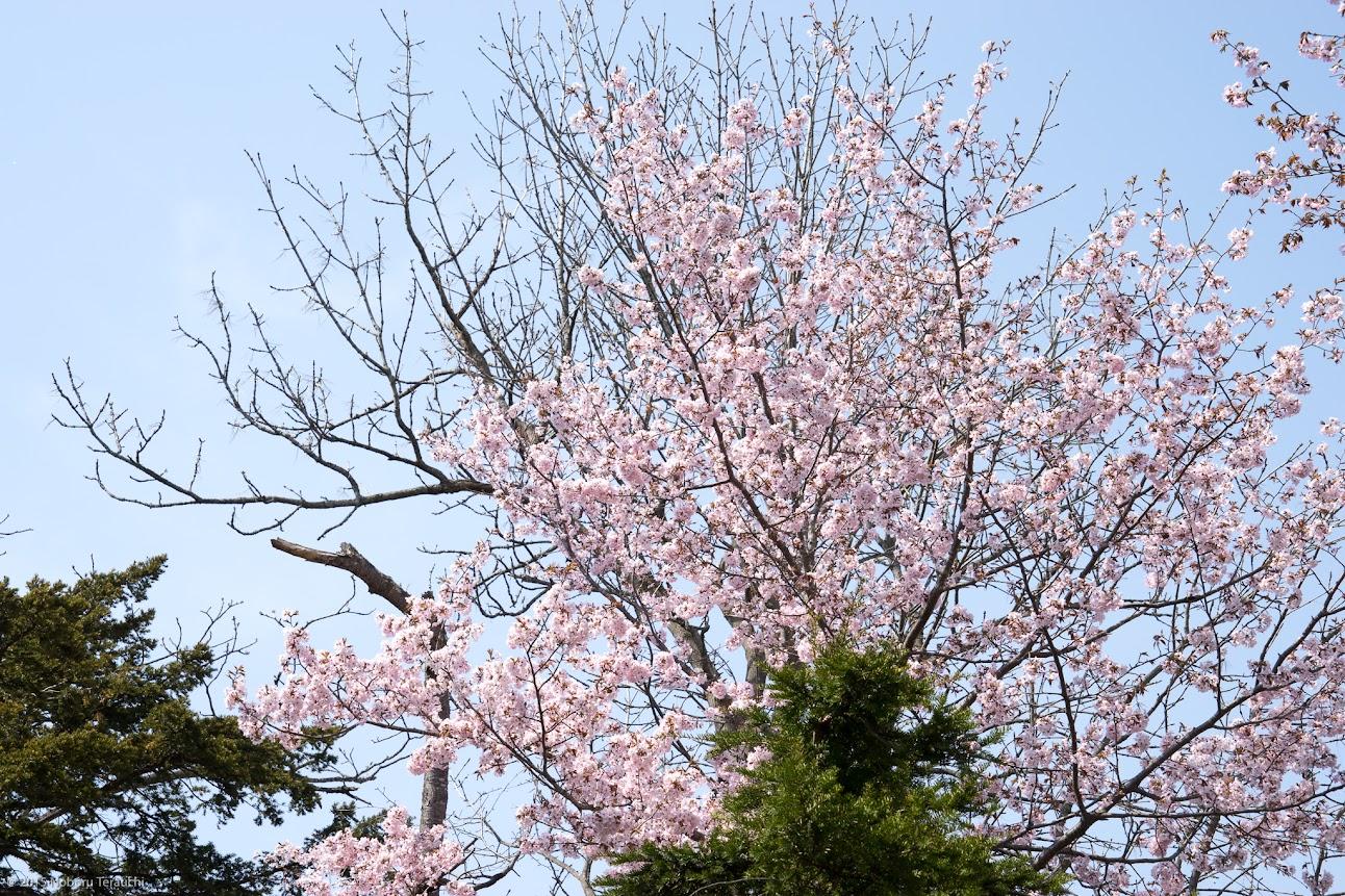 去年2015年の満開の桜