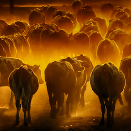 by Milanka Dimic - Animals Other Mammals ( nature, light, cows, animals, herd )
