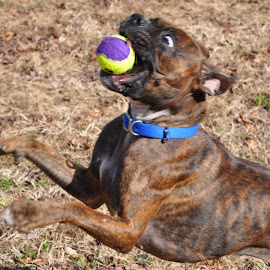 Maggie makes an out! by Dann E. Haworth - Animals - Dogs Playing