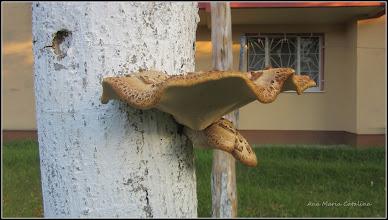 Photo: Ciuperca - de pe Calea Victoriei, B15 - spatiu verde, tei - 2017.06.22alina