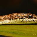 Keel- bellied Vine Snake
