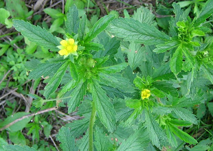 Photo: Rough Cinquefoil (Potentilla norvegica), 6.19