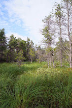 Photo: Finally, we find the Jack Pine swamp. Serene.