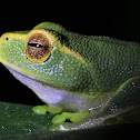 Graceful Treefrog