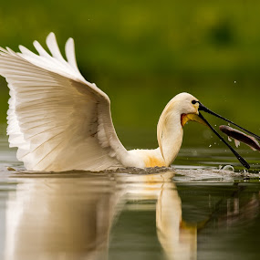 European Spoonbill catching fish by Trond Braadland - Animals Birds ( storks, hungary, european spoonbill, hortobagy, fishing )