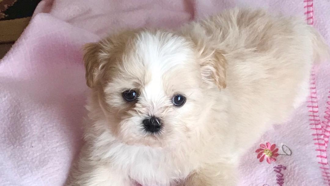 Teddy Bear Faces Shih Tzu Puppies Shih Tzu Breeder In Houston