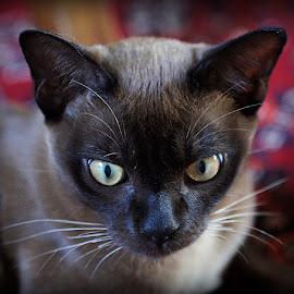 George by Caroline Beaumont - Animals - Cats Portraits ( kitten, burmese kitten, yellow eyes, brown burmese kitten, burmese cat )
