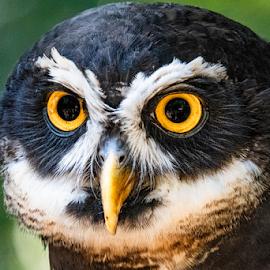 spekled owl by Darren Sutherland - Animals Birds