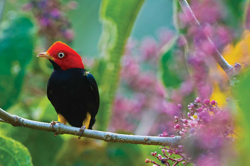 Costa Rica-Red-Capped-Manikan.jpg - Hi little feller! See a red-capped manakin in Corcovado National Park, Costa Rica.