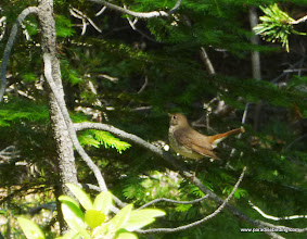 Photo: Hermit Thrush, responding to Steve's Northern Pygmy-Owl toots with tail-flicking behavior. Unburned border of GW Burn.