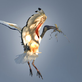 Nesting by Robbie Aspeling - Animals Birds