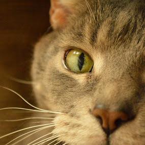 Hemingway by Karissa Zelman - Animals - Cats Portraits ( cat, green, intense, teeth, close up, portrait )