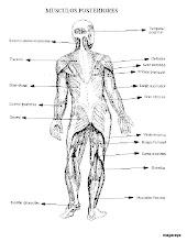 Photo: cuerpo humano musculos posteriores