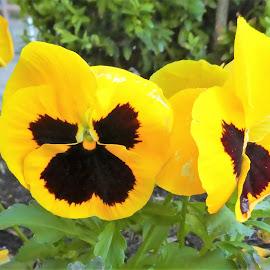 The yellow pansies by Svetlana Saenkova - Flowers Flower Gardens ( pansies, yellow )