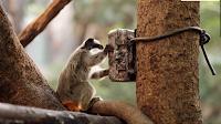 Petit mammifère examinant un boîtier électronique camouflé et fixé sur un arbre
