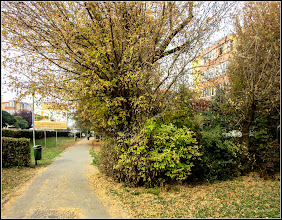 Photo: Artar American (Acer negundo) - din Turda, Calea Victoriei, alee - 2018.10.19