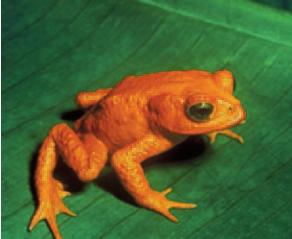 Résultat de l'image pour Golden Toad