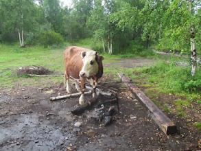 Photo: И провожающие коровы на Сухом Ручье