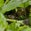 Common Rat Snake (水律)