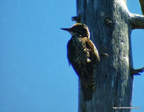 Photo: Adult male American Three-toed Woodpecker, Sparks Lake
