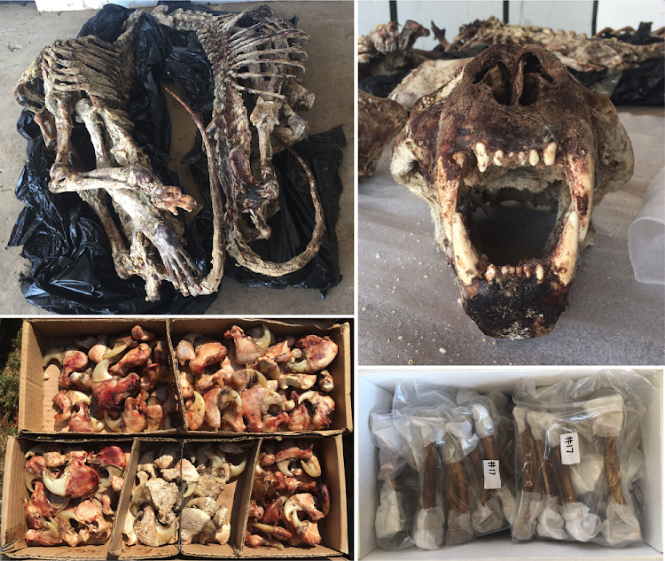 Lion skeletons, skulls and claws, and (bottom right) cleaned lion bones ready for export to south-east Asia.